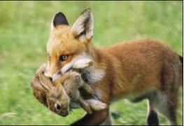 Fox and Rabbit 10