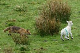 Fox chasing Lamb 01